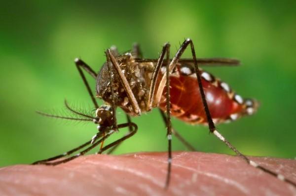 Aedes Aegypti. Foto: Internet